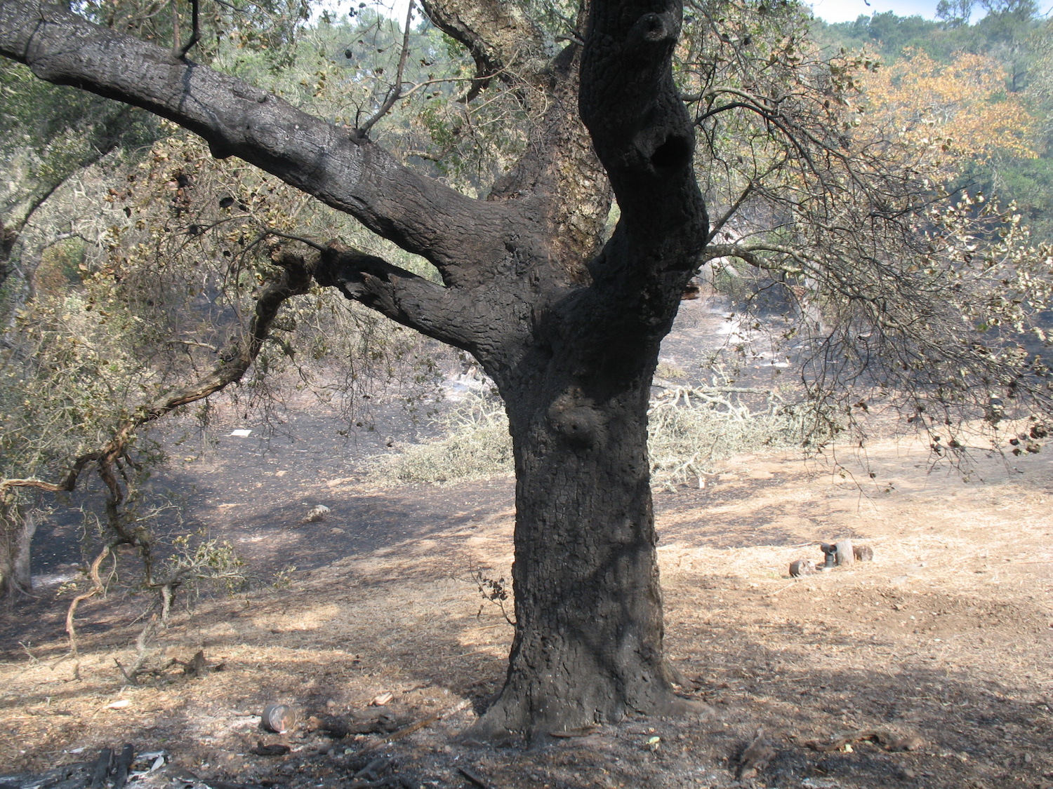 Burned-Tree-1