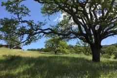 Oak in Springtime