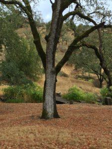 Oak after the First Rain