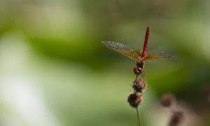 Red Dragonfly Header